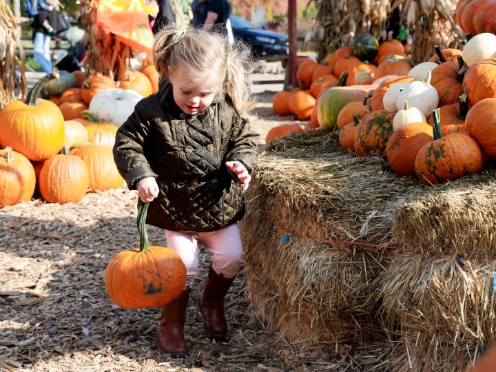 Marlowe Martino, carrying a pumpkin at silverman's pumpkin patch in connecticut