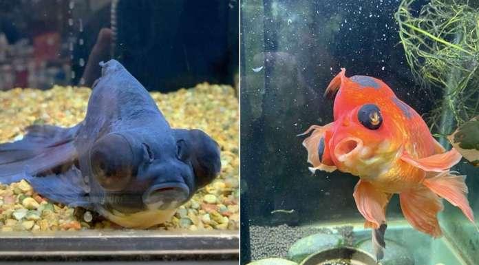 Monstro the goldfish nursed back to health