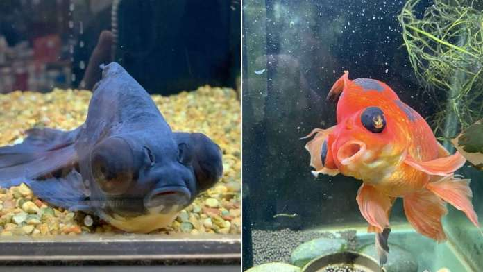 Monstro the goldfish nursed back to health