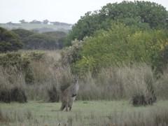 Kangourou !