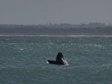 Baleine capturée à Robe