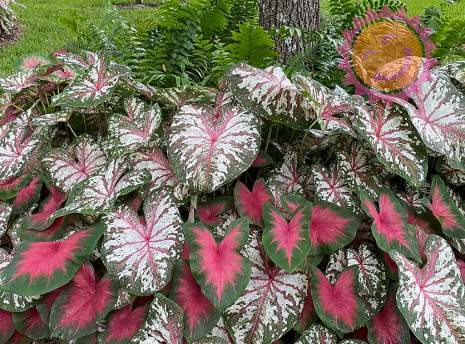 Florida Cardinal Red with Tapestry Pink Fancy Leaf Caladiums