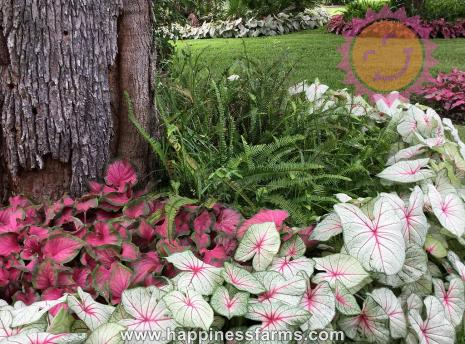 Florida Fantasy White Fancy Leaf and Passonista Pink Lance Leaf Caladiums