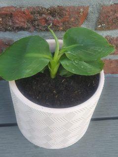 plantenstekjes - Musa Oriental Dwarf