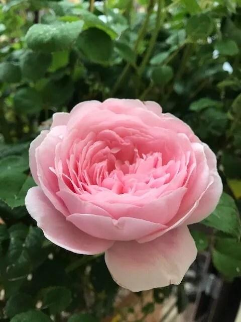 Pale pink Queen of Sweden rose