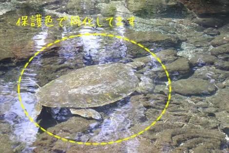 ハワイ島のウミガメ