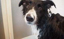 愛犬Jのお風呂タイム