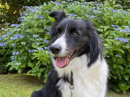紫陽花に魅せられ。愛犬に癒され。