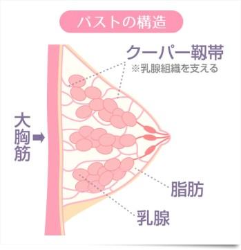 バストの構造 クーパー靭帯