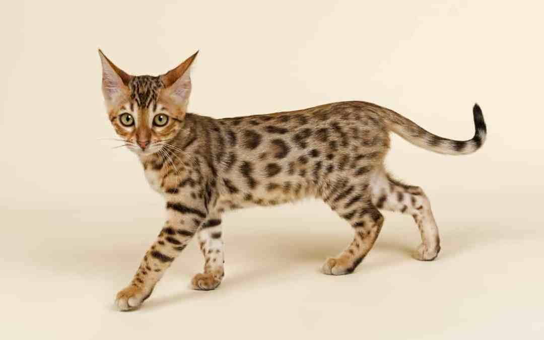 Die Bengalkatze