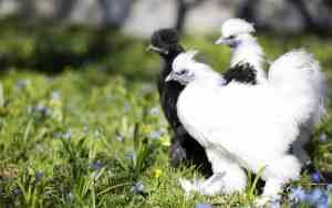 6 Tipps für artgerechte Hühnerhaltung