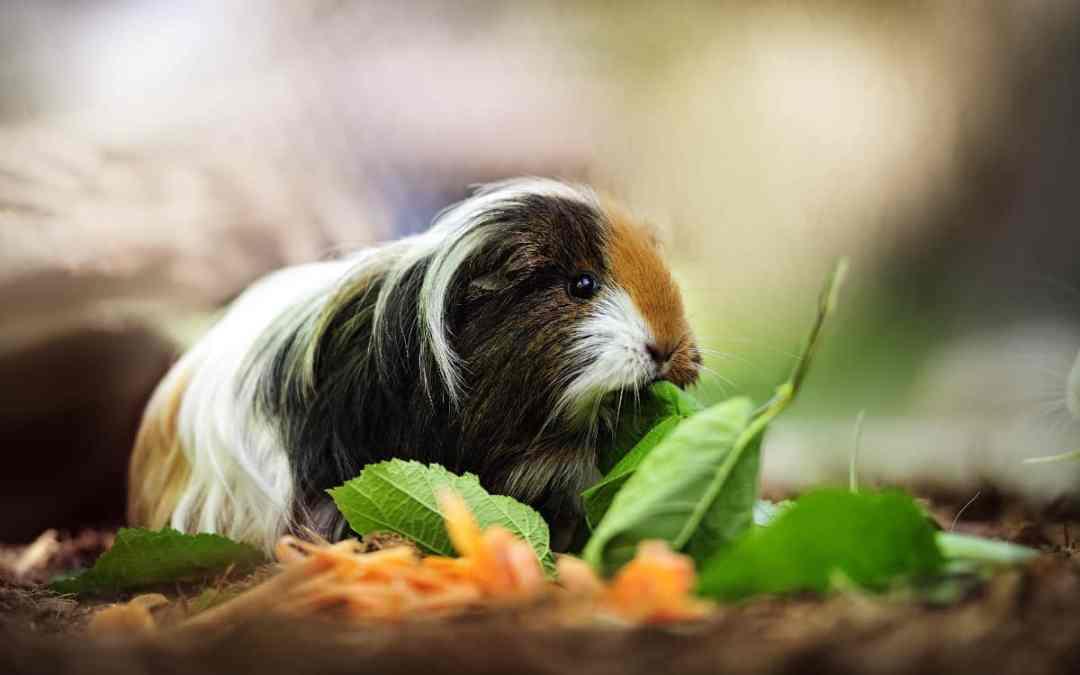 Meerschweinchen-Futter: 8 Tipps