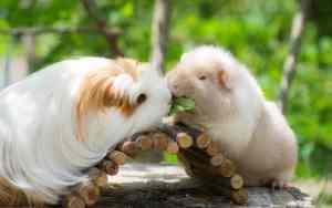 Meerschweinchen-Rassen im Überblick