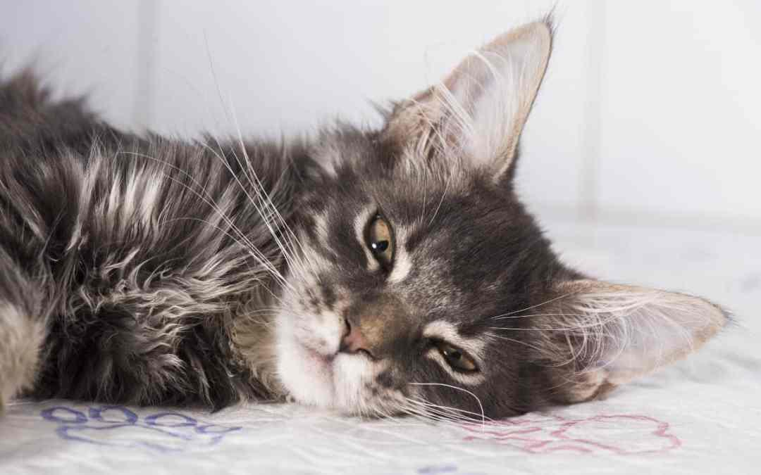 Giardien bei der Katze: was tun?
