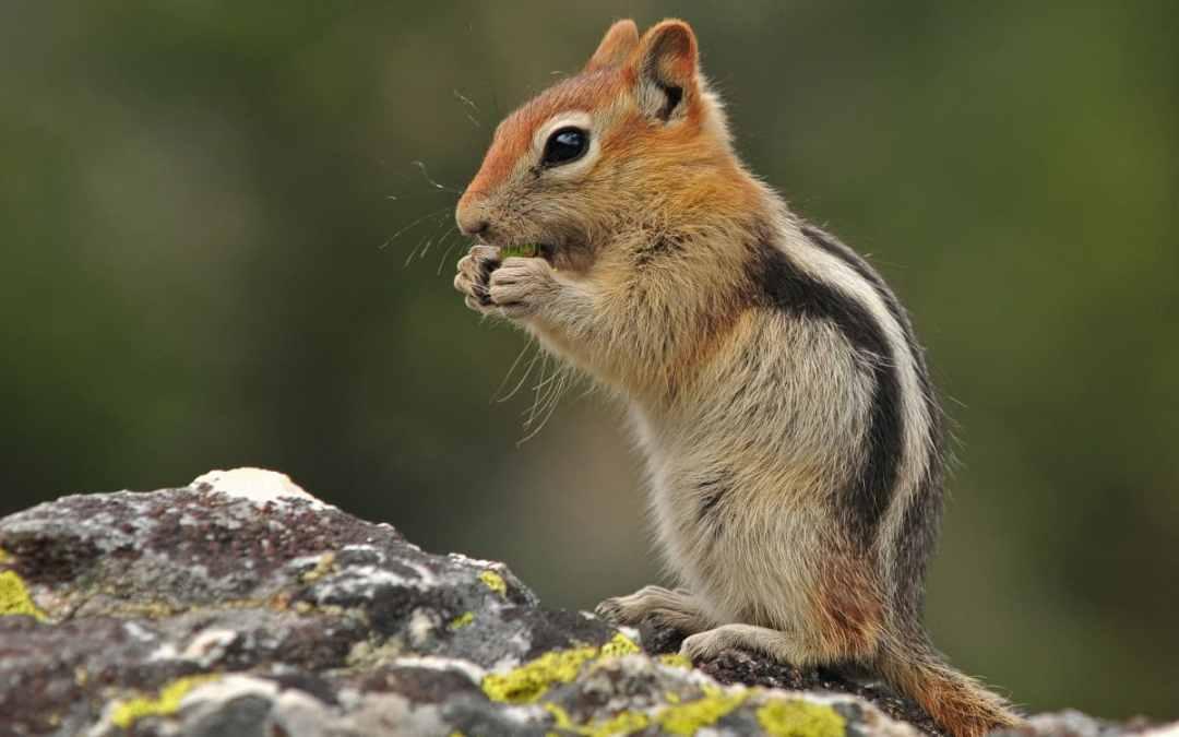 Wissenswertes über Streifenhörnchen
