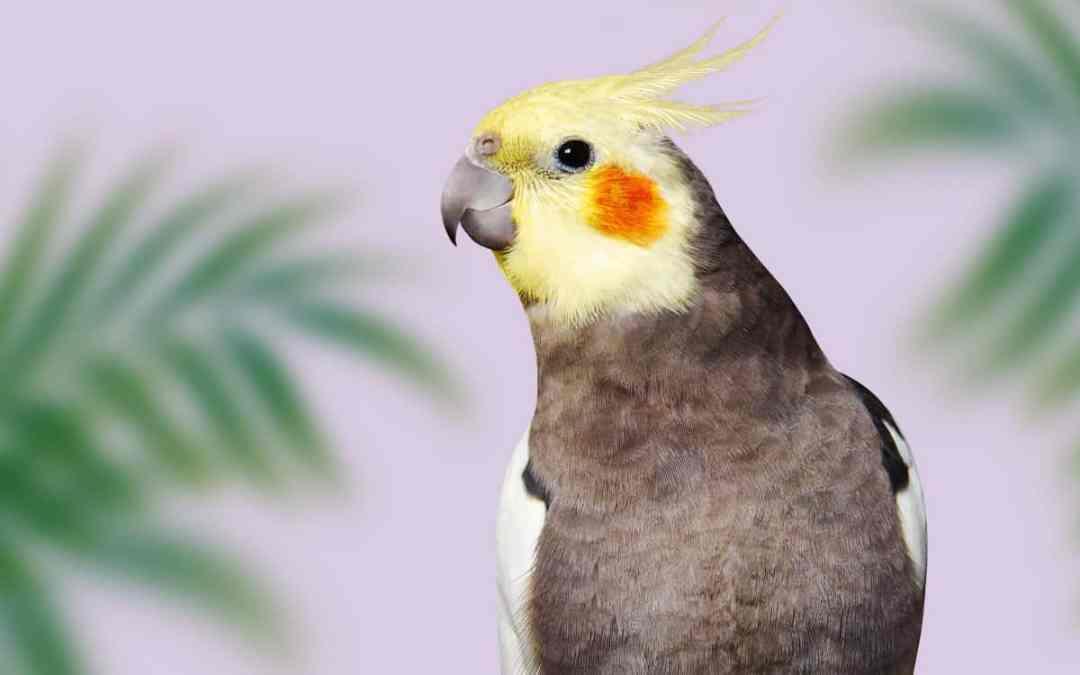 Der Nymphensittich: geselliger Vogel