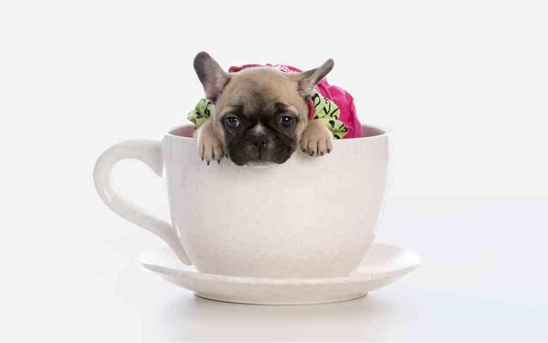 Teacup-Hunde: Folge von Qualzucht