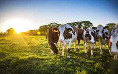 Die faszinierende Welt der Kühe
