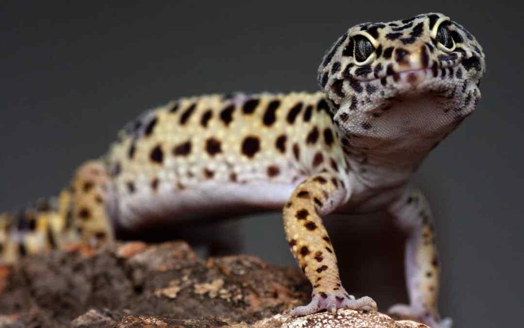 Der Leopardgecko