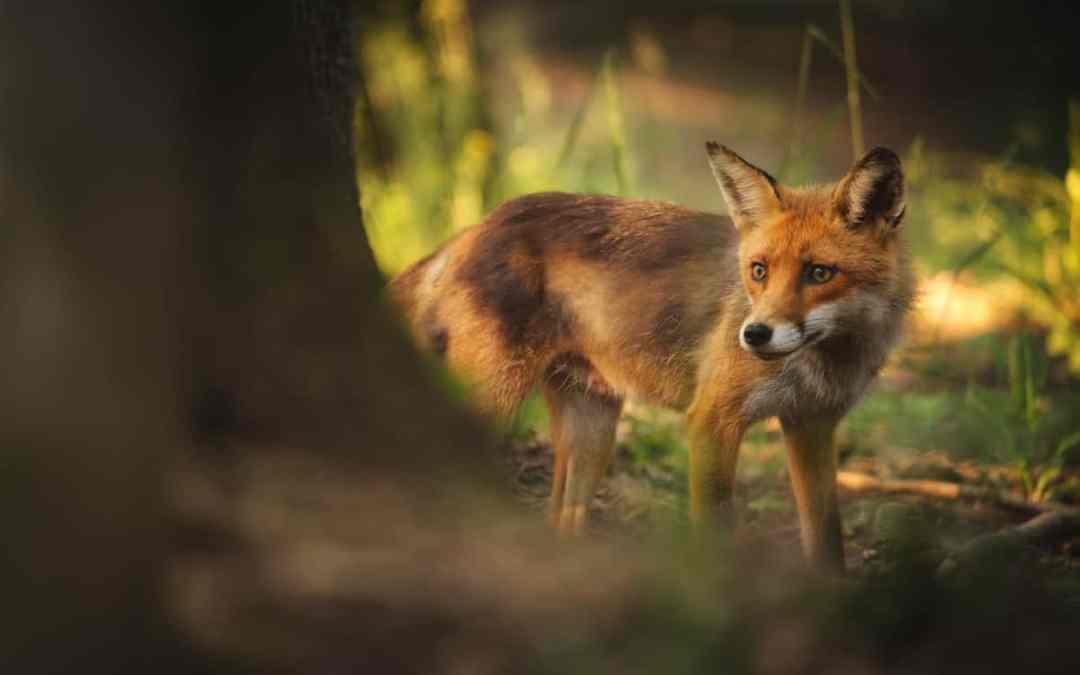 Fuchsräude und die Gefahr für Hunde