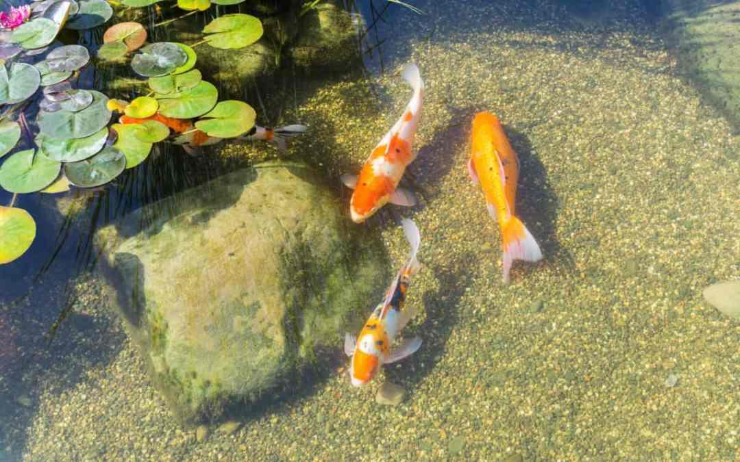 5 Tipps für einen Gartenteich mit Fischen