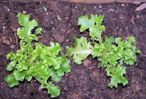 Multy lettuce seedlings