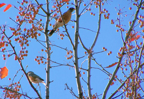 Birds are feasting on the ornamental pears