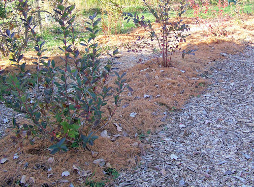 Pine straw protecting the blueberry bushes