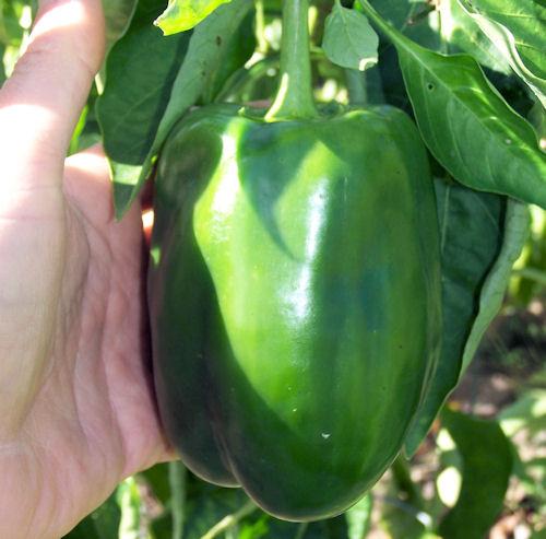 Snapper pepper