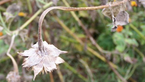 dried blossom of Tithonia, left hanging on