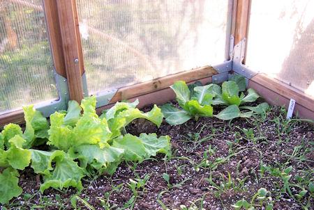 lettuce and escarole on Dec 13th