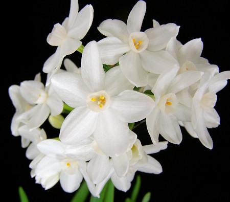 Ziva Paperwhite Narcissus