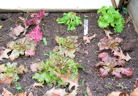 lettuce in cold frame