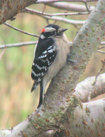 Downy woodpecker on ornamental cherry tree