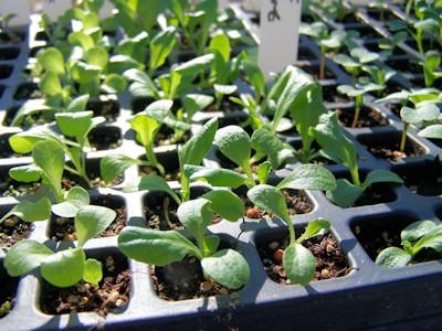 seedlings one week from germination