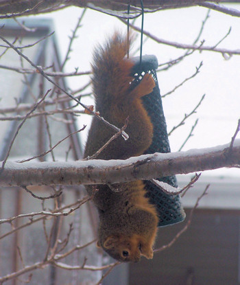 squirrel raiding bird feeder