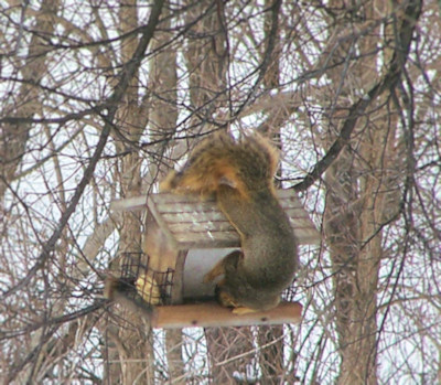 raiding the bird feeder