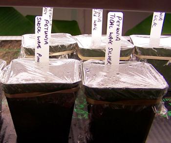pots of Wave petunia seeds on heating mat