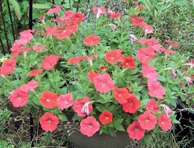 Easy Red Wave in hanging basket