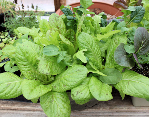 Salad Greens in Containers