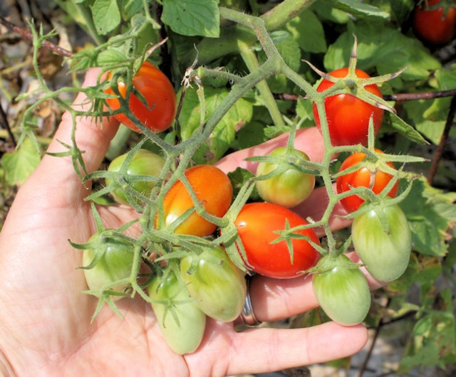 cluster of 12 Juliet tomatoes