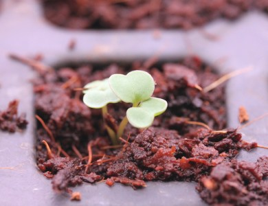 young arugula seedling (click on any image to enlarge)