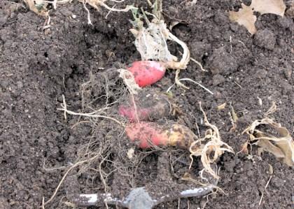 leftover radishes from underground