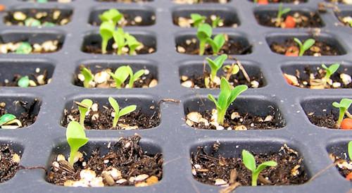 lettuce seedlings in plug tray