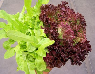 Oakleaf and Red Multy lettuces