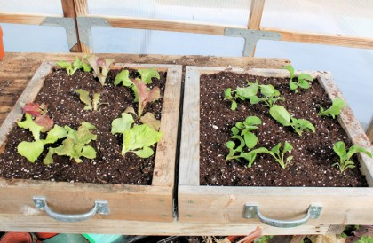 mini salad boxes with lettuce(L) and arugula(R)