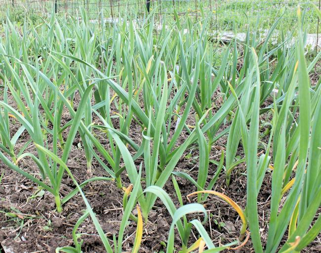 garlic in April after fertilizing