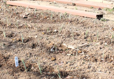 onions after planting