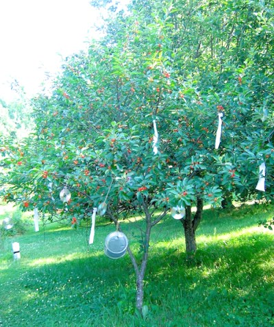 pie cherry tree loaded with cherries