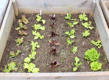 cold frame bed planted with lettuces